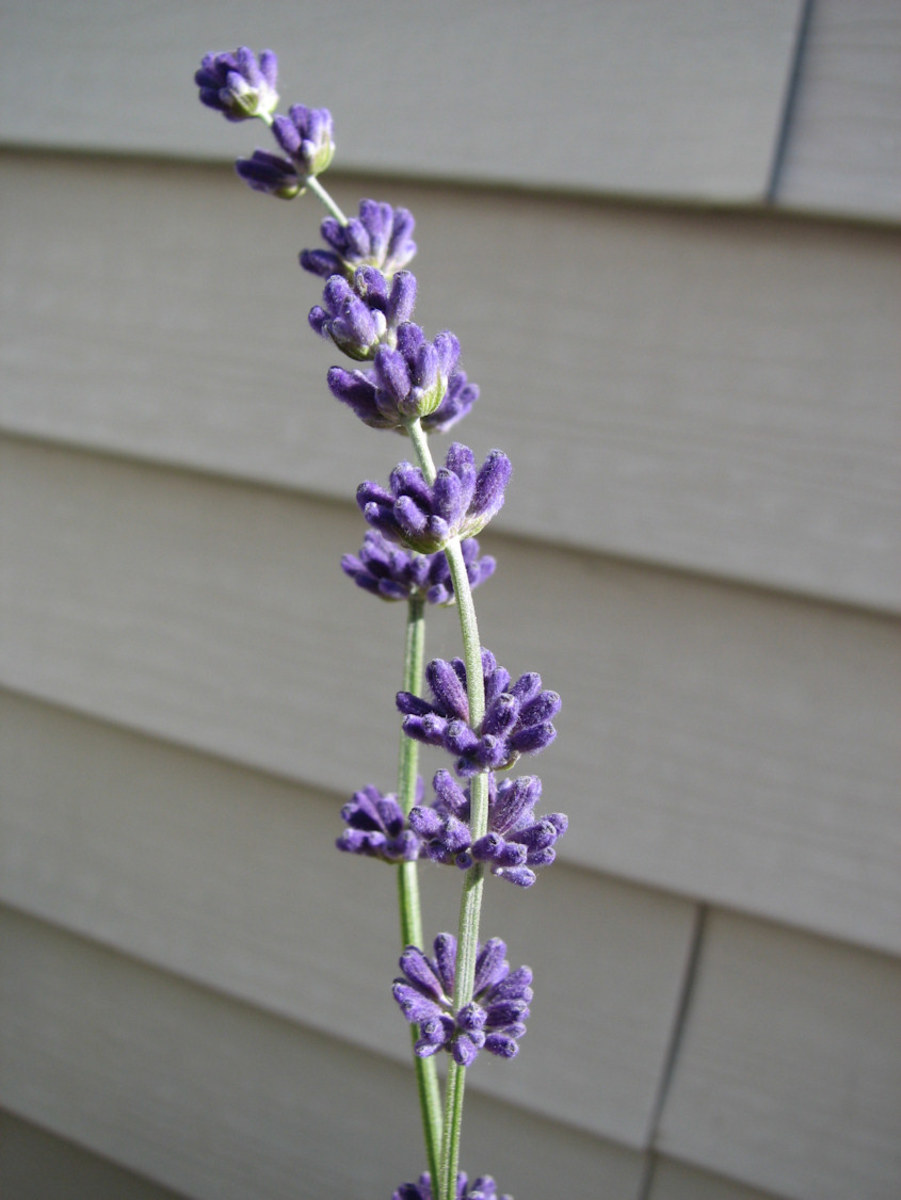 The lavender did okay, but didn't produce a lot of flower spikes.  Not enough for the crafting I wanted to do.