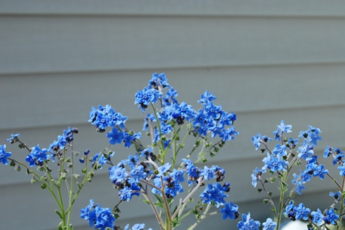 The Forget Me Nots from the seeds given to us by the veterinary hospital that tried to save my daughters cat did all right in the end.  We weren't sure how they'd survive the storms, but they surprised us and bloomed quite prettily.