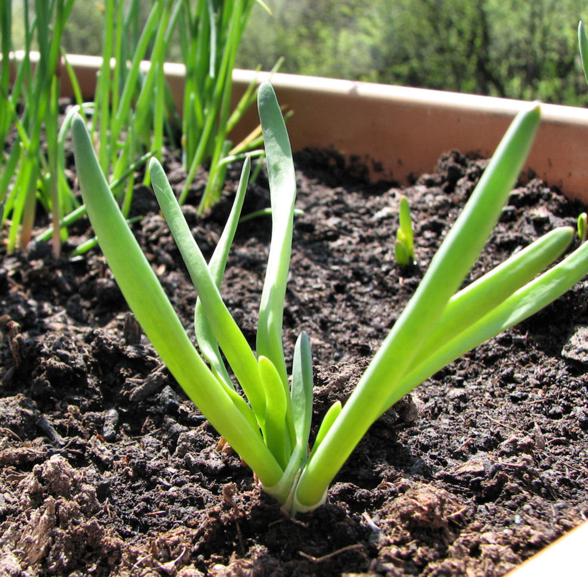 A could of shallots filled in some empty space with our garlic chives.