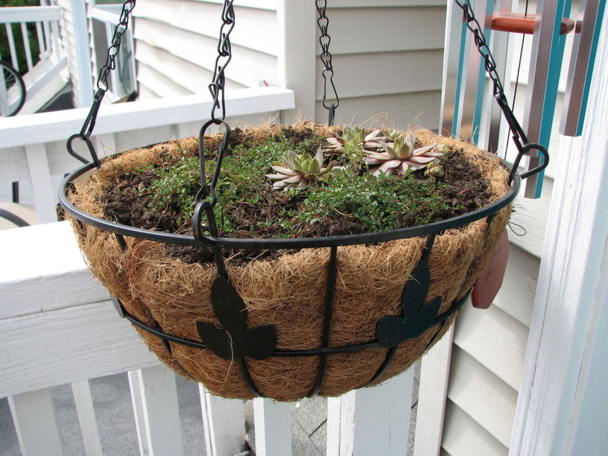 My daughter mounted a hanger quite low for more Hens and Chicks with creeping thyme.