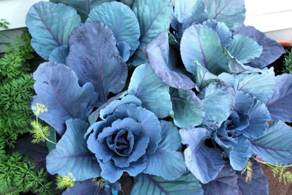The purple cabbage did quite well, even in what was really too small of a bin for four plants.  Two would have been better.