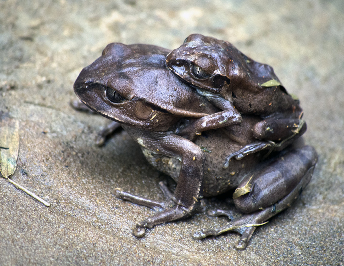 Frogs on the trail, Odzala-Kokoua National Park, Republic of Congo. Photo: Di Robinson