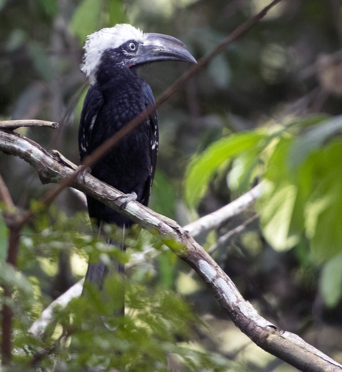 The white-crested hornbill Tropicranus albocristatus is one of several species of hornbill living in Odzala-Kokoua National Park. Photo: Matt Feierabend