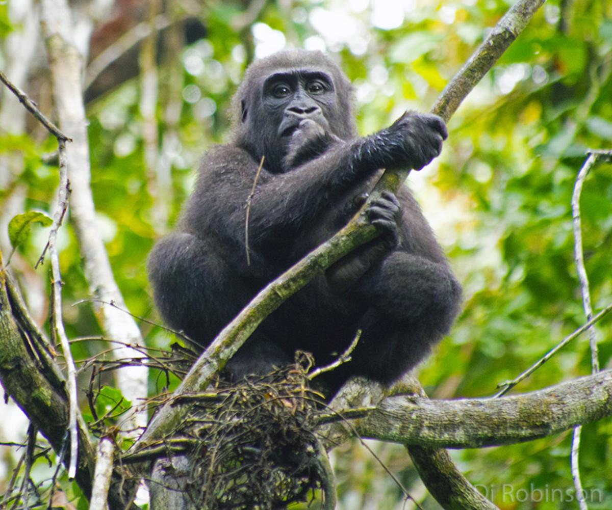 Western lowland gorilla. Photo: Di Robinson
