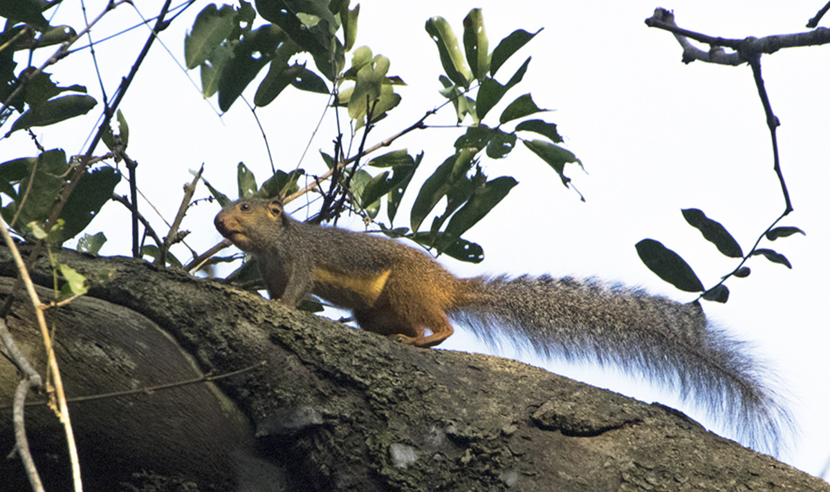 Red-legged sun squirrel Heliosciurus rufobrachium. Photo: Matt Feierabend