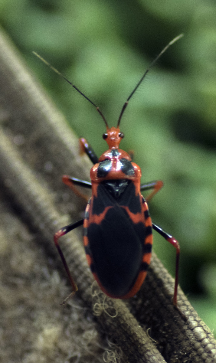 This groovy beetle is only one of the amazing creatures to be seen in the rainforests of the Congo Basin. Photo: Matt Feierabend