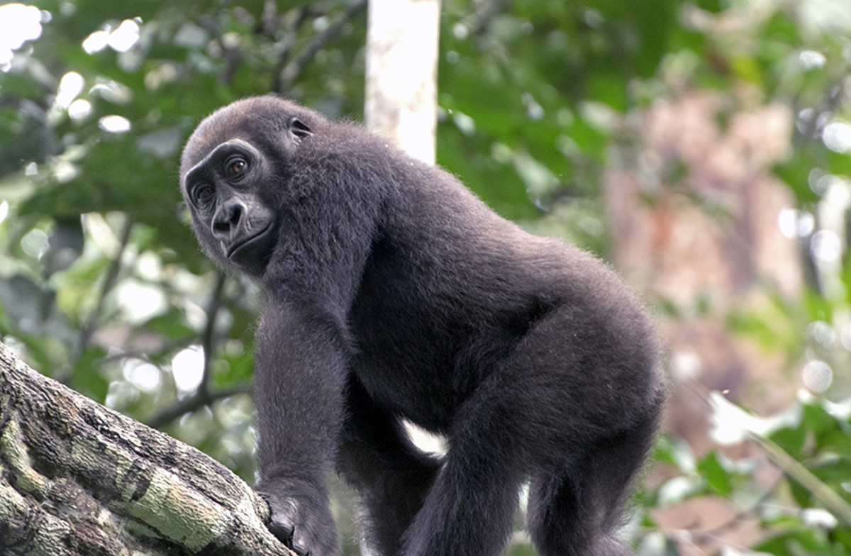 The inquisitive, agile and beautiful western lowland gorilla. Photo: Matt Feierabend