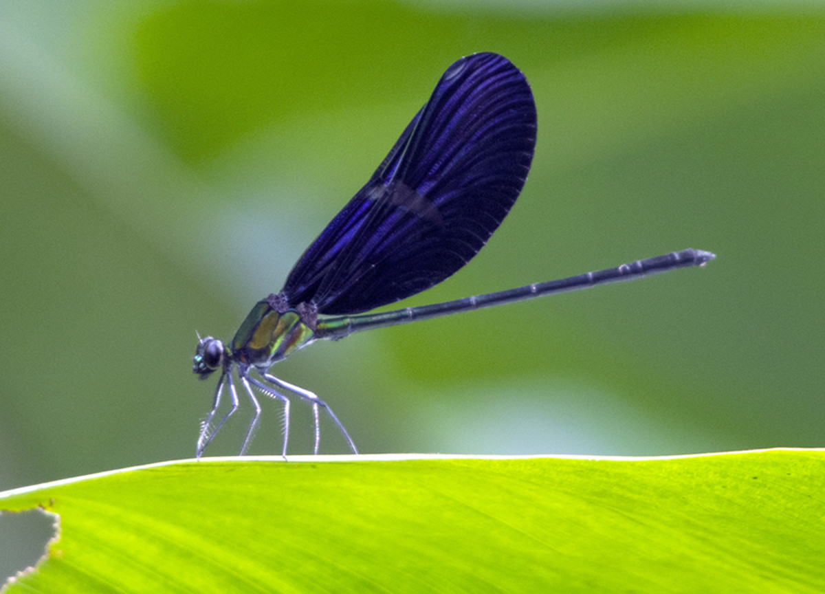 Jewelled damselfly resting on marantaceae leaf, Republic of Congo. Photo: Matt Feierabend