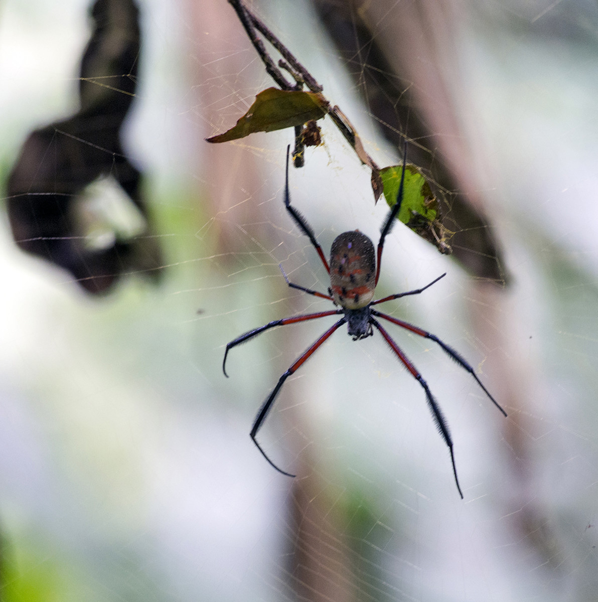 This spider looks scary but is probably not at all poisonous. Photo: Di Robinson