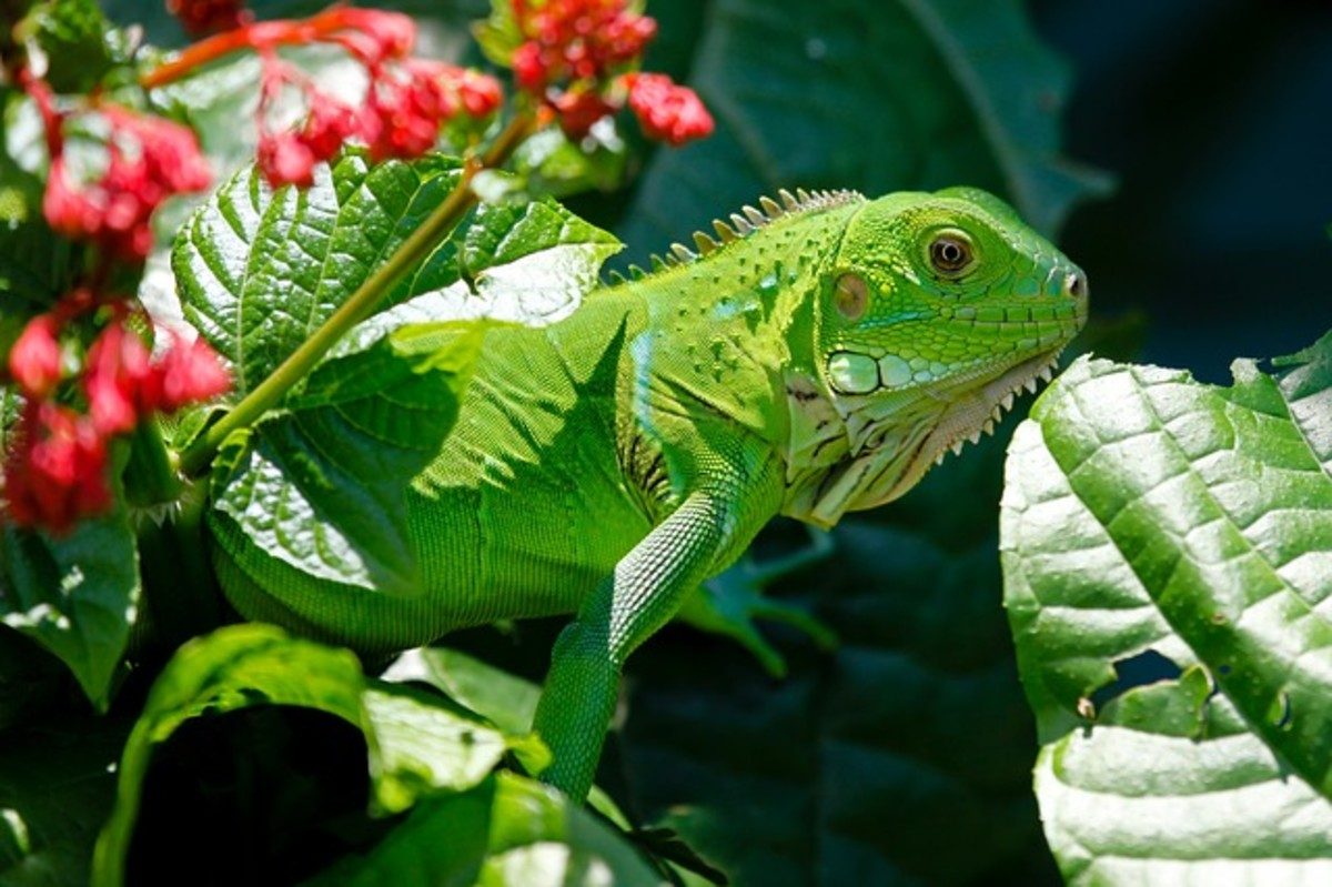 A young beautiful green iguana enjoying the outdoors.