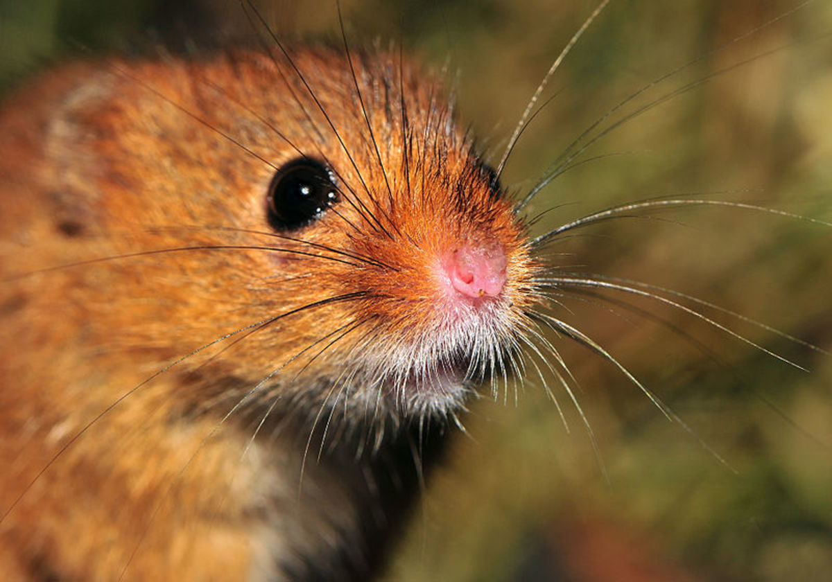 Mice show a natural aversion to brightly illuminated areas; traps should shield eyes from strong surrounding light.