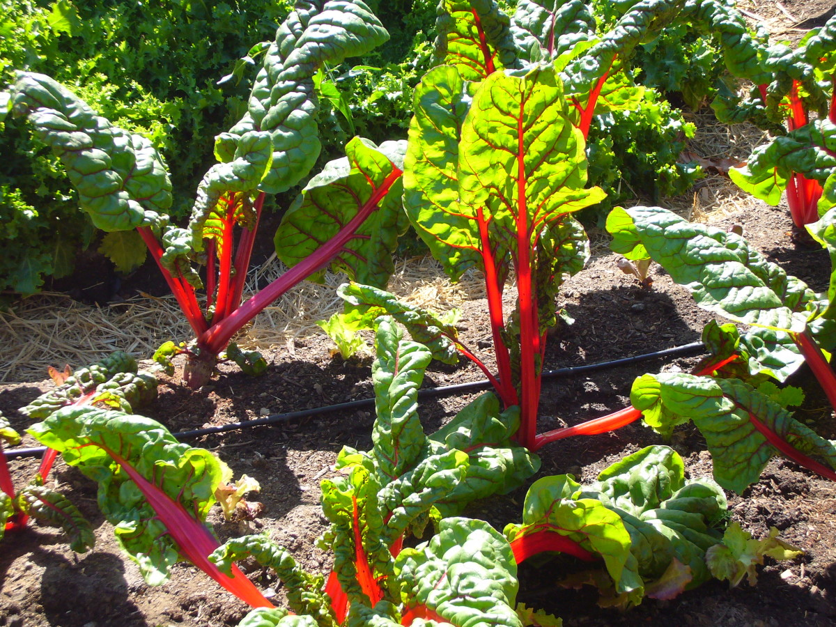 Swiss chard has a bright red stem and red-veined leaves. It's a beautiful plant that makes a distinctively flavored dish.
