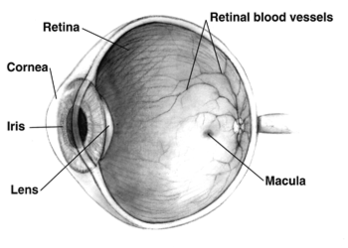 Cross-sectional view of the human eye