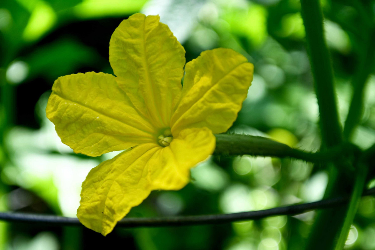 even cucumbers have flowers