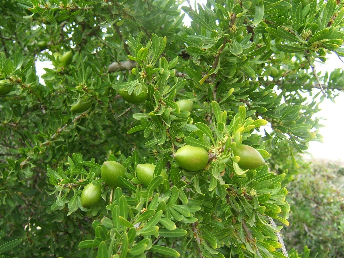 unripe Argan fruit, Agadir, Morocco