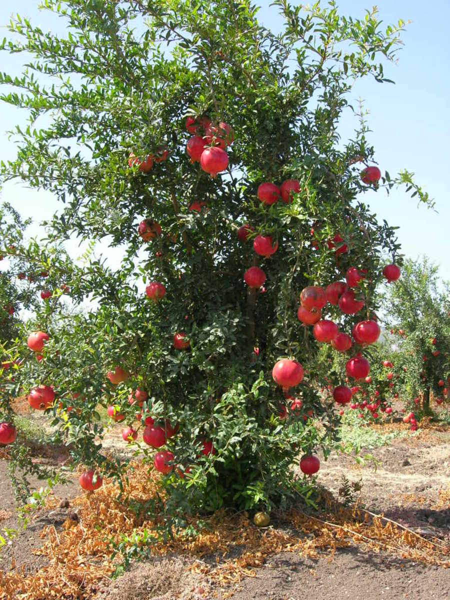 Punica granatum growing in Israel