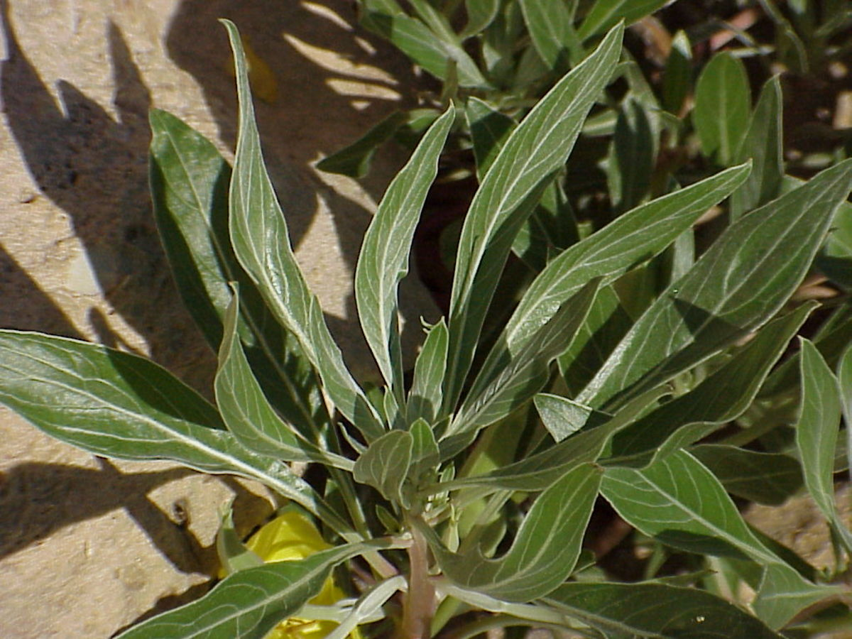 Close-up of leaves of evening primrose plant.