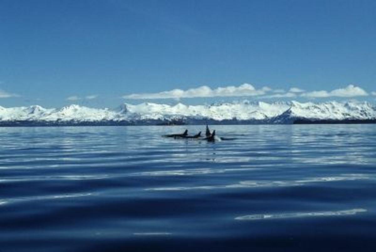 Killer Whale Pod (Hosking-U.S. Fish and Wildlife Service)
