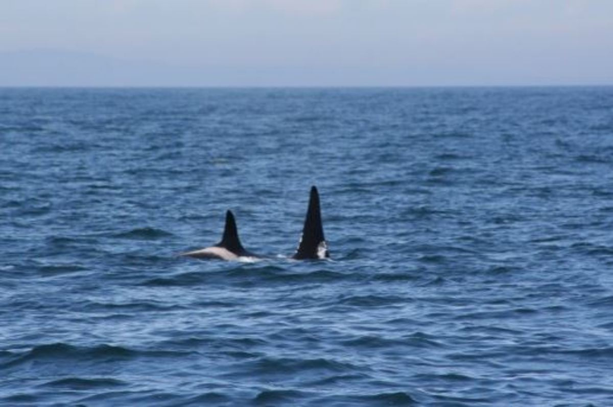 Where can you find Killer Whales, beside's Sea World?