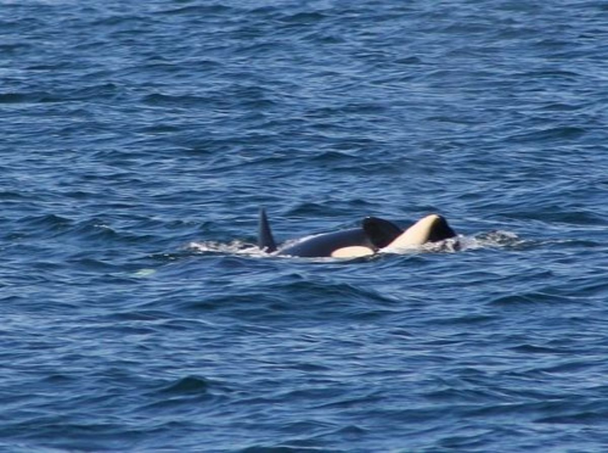 Orcas courting