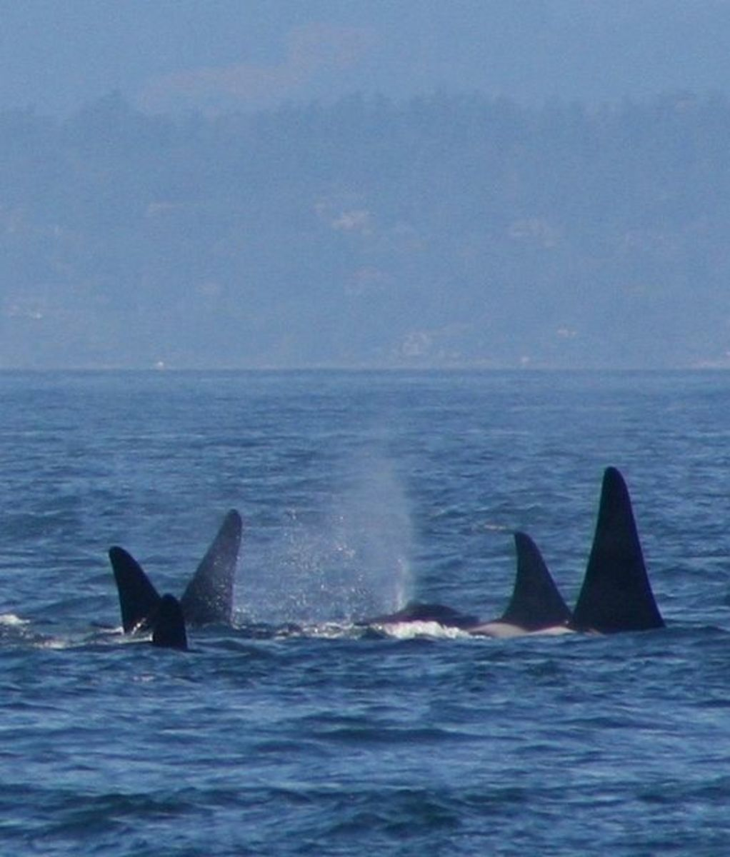 A superpod gathering of Orcas: two transient pods and a resident pod