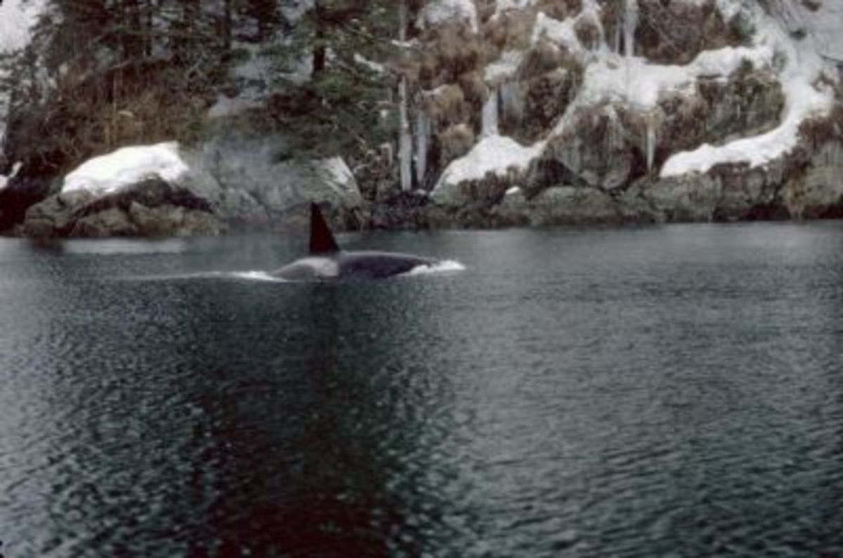 Orca in Prince William Sound - (U.S. Fish and Wildlife Service)