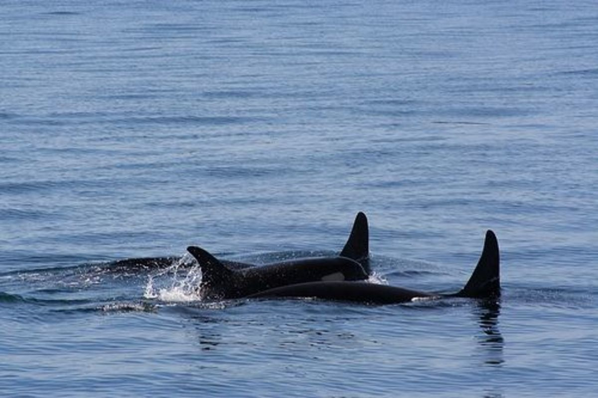 Two Orcas lifting a baby Orca to the surface, a heart-touching display of caring