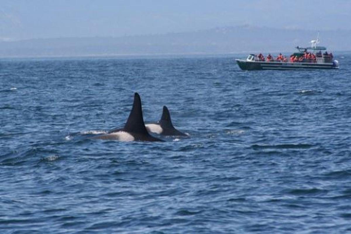 Two Orcas near the San Juan Islands