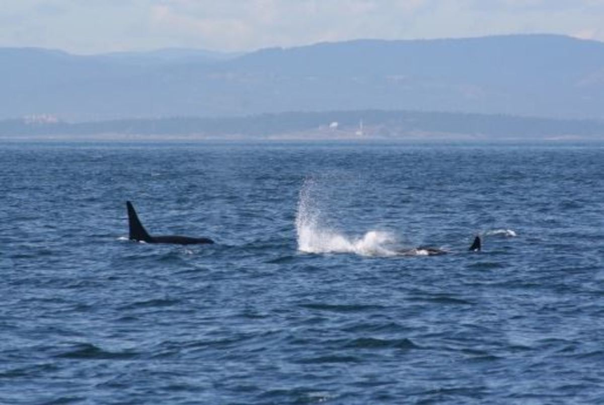 Communications and sounds of the Killer Whale