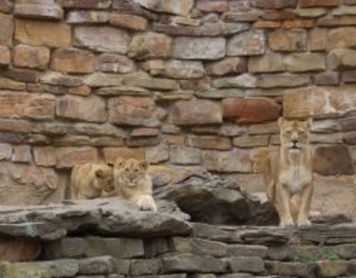 Lioness & cubs at Fort Worth Zoo