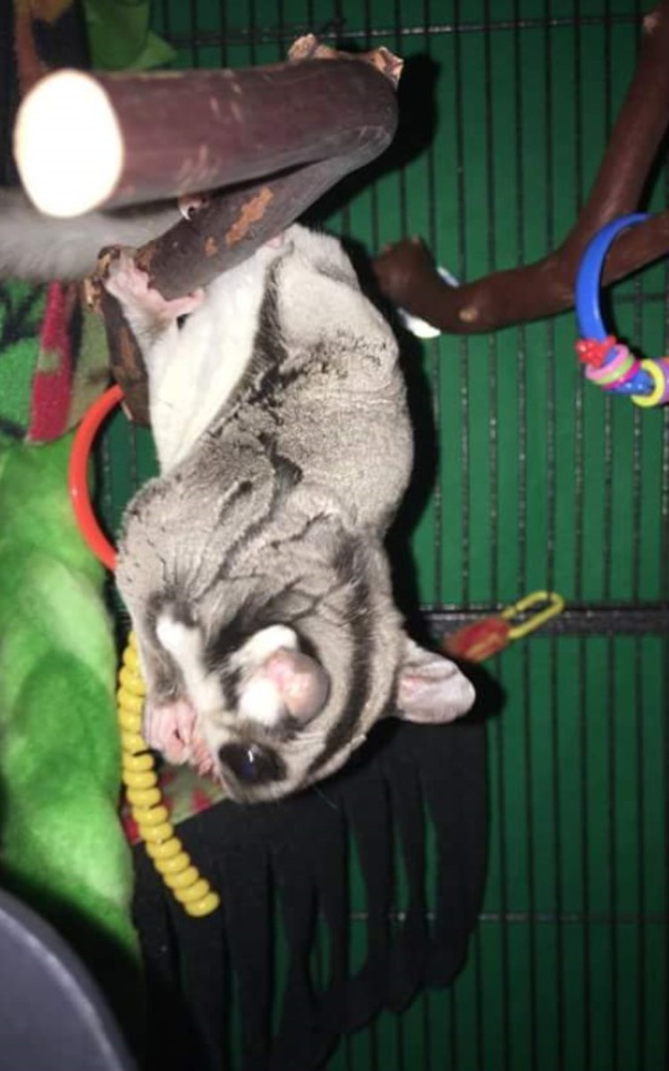 How to Take Care of Sugar Gliders | HubPages