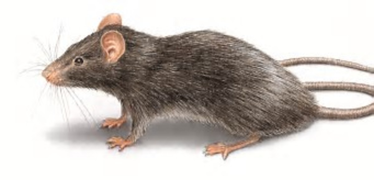I have picked the picture of this rat from the Internet, just because it is slander, it has a long tail and is the same colour of the rat that came in our room, and caused so much damage, and we are going to talk about in this article.