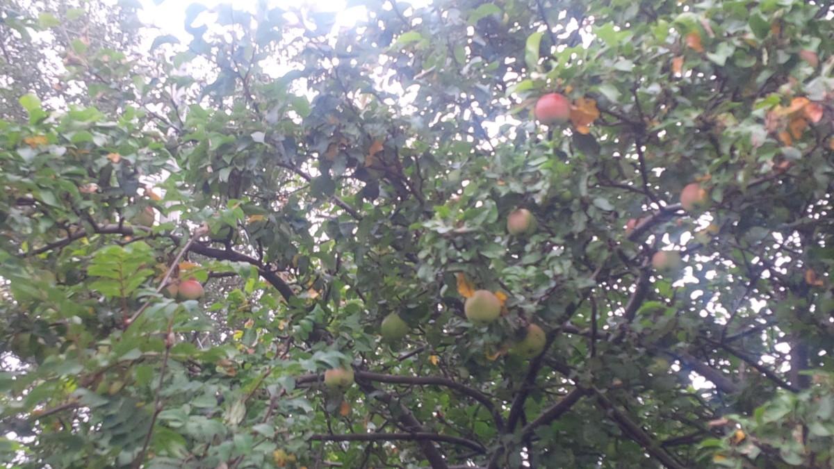 An apple tree along side the trail.