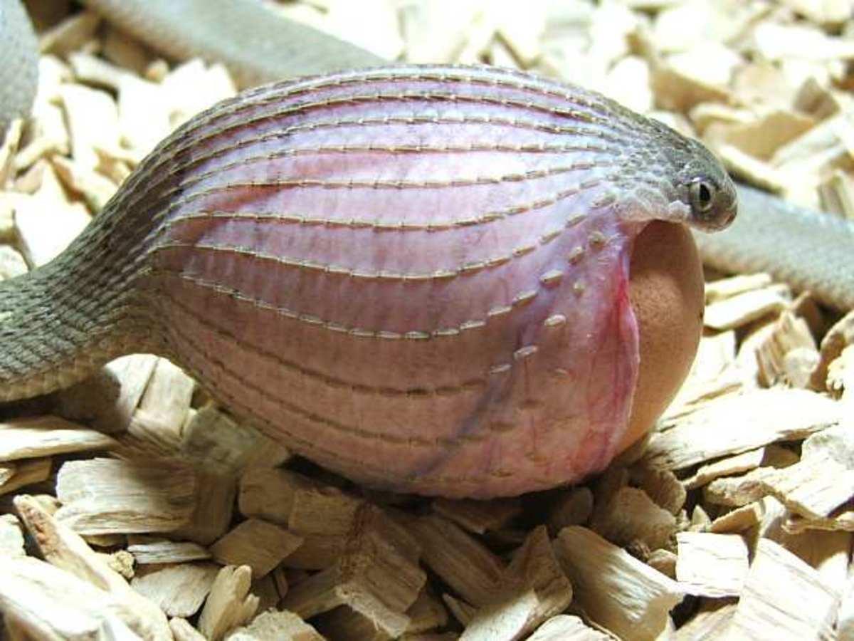 Snake eating an egg.