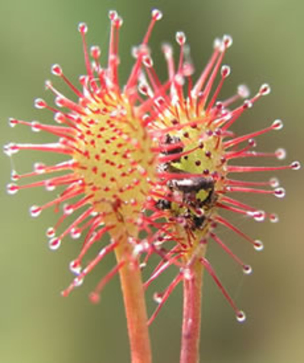 This Carnivorous Sundew Plant capture prey on it's sticky testicles. Some species even live in North America.