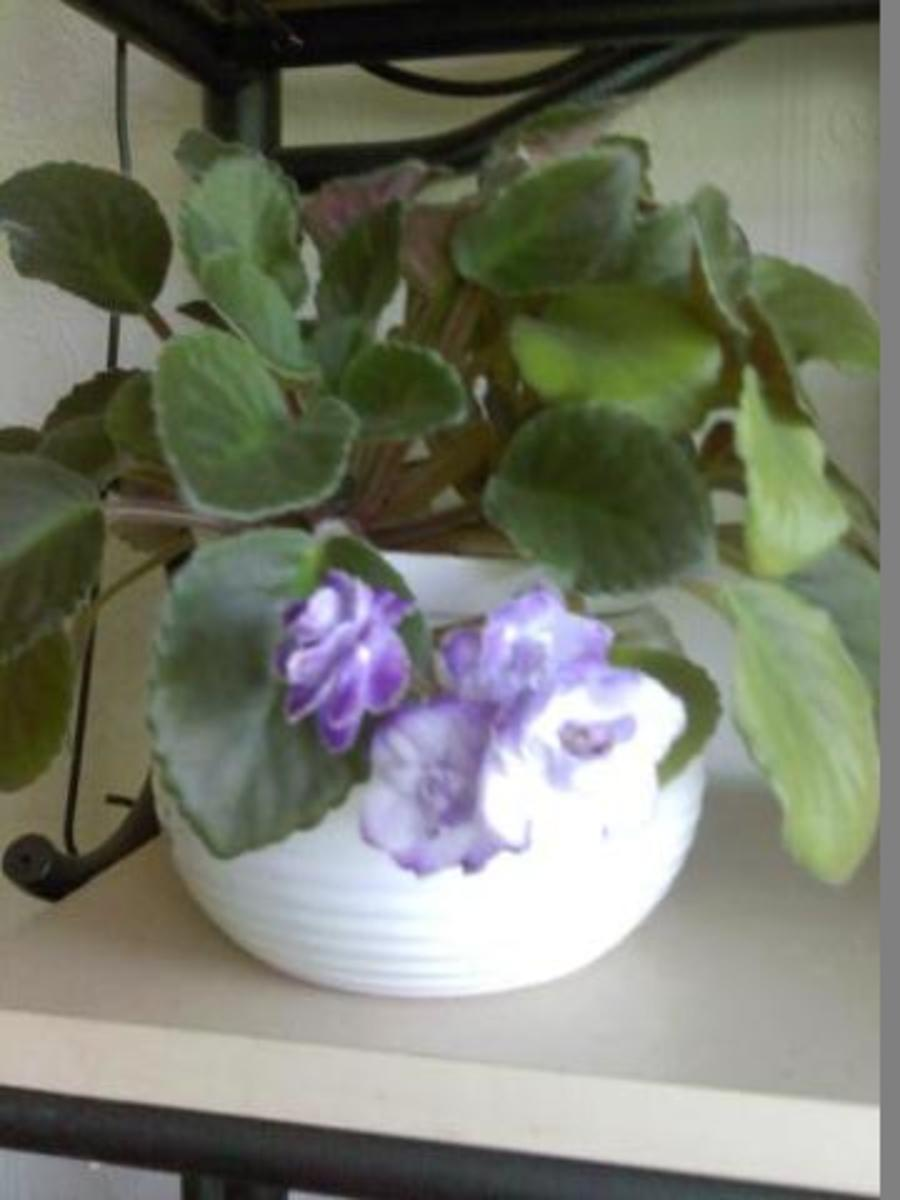 African Violets, It's Very Easy to Grow These Beauties