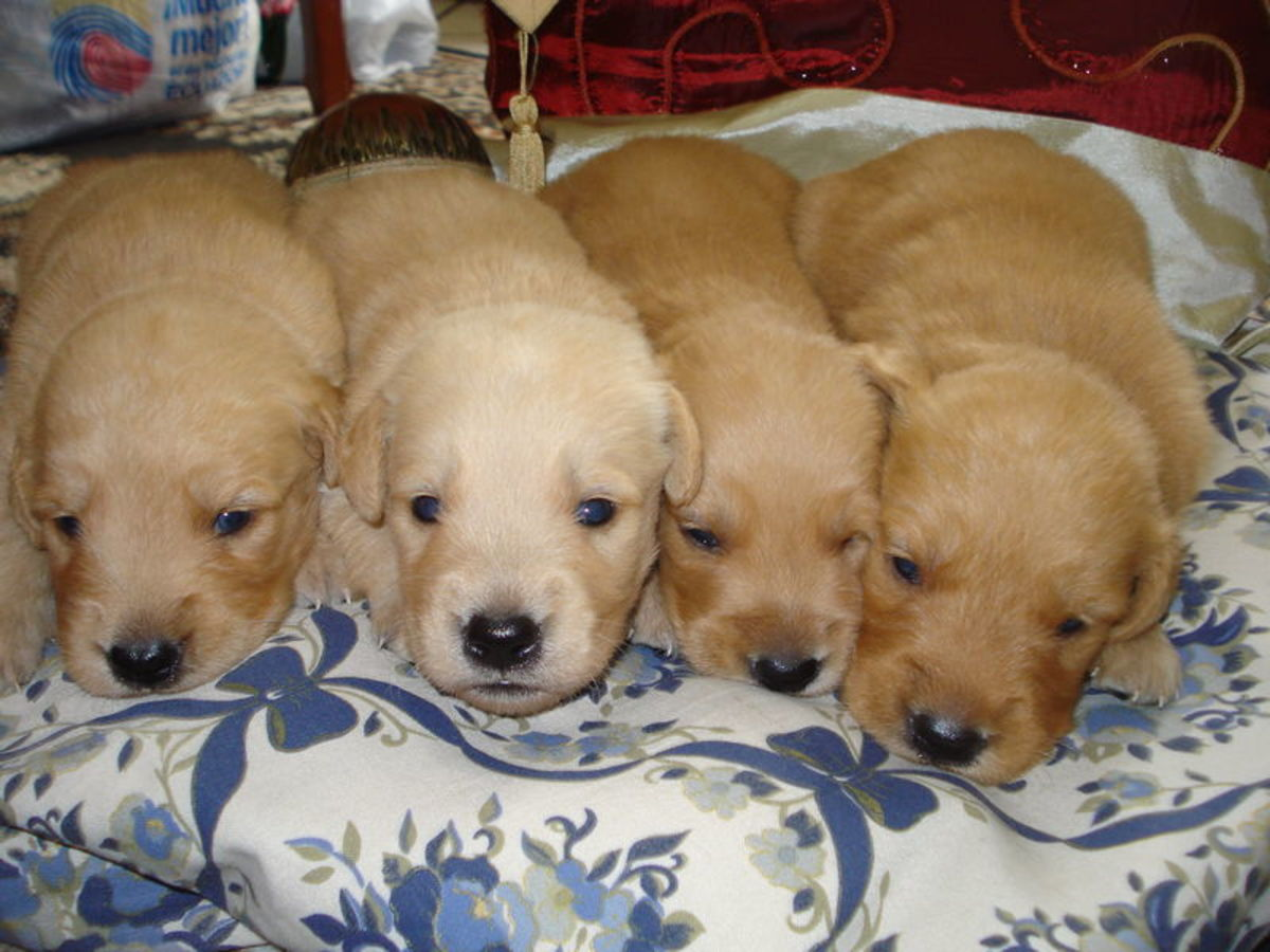 3 Weeks Old Golden Retriever Puppies