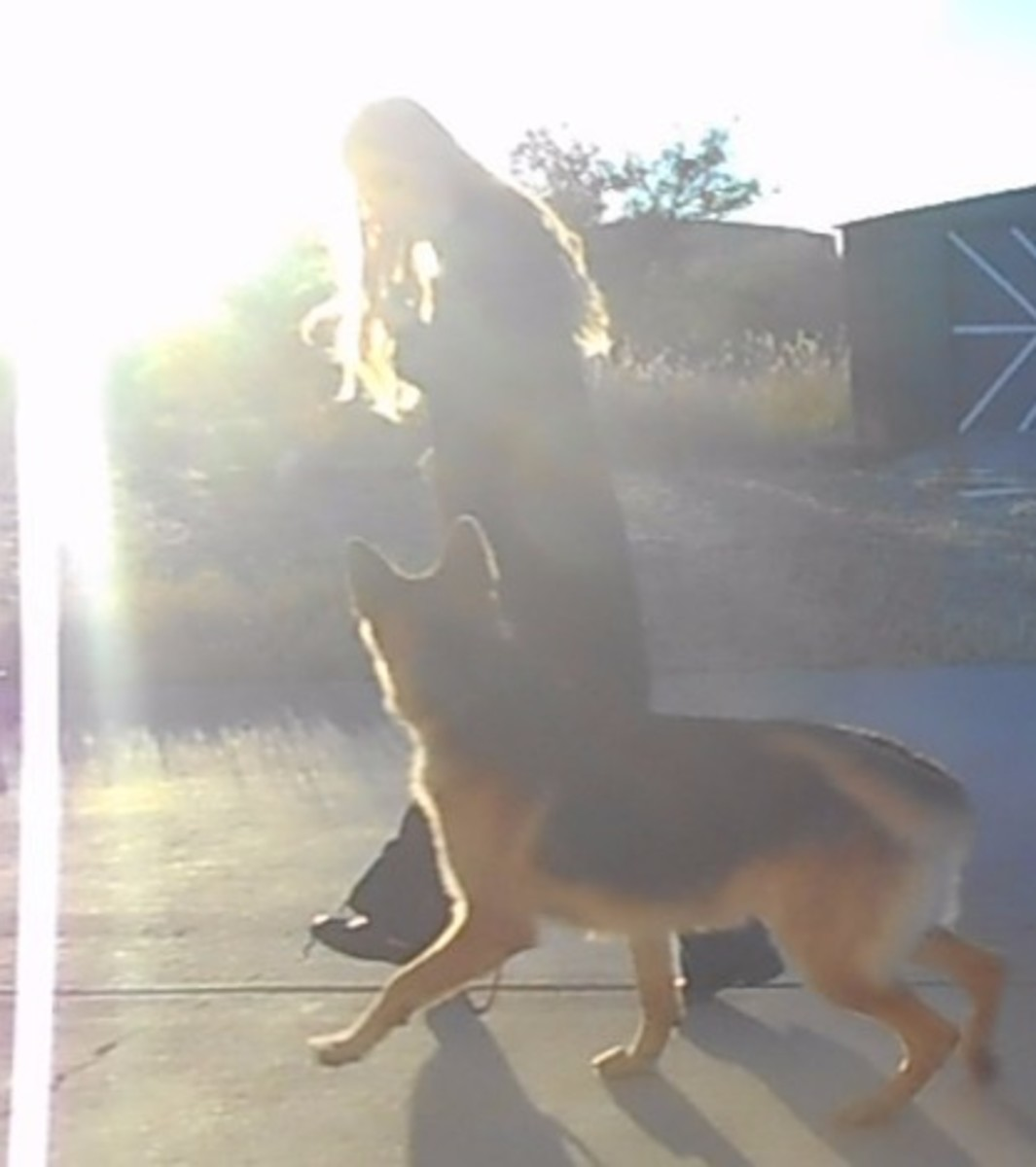 Attention heeling can help your dog walk by distractions without pulling.