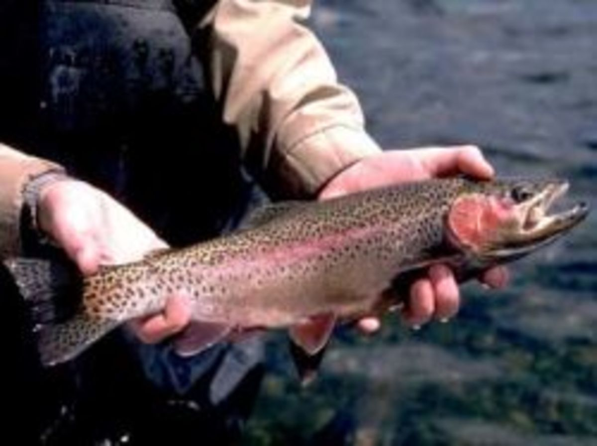 rainbow trout Oncorhynchus mykiss