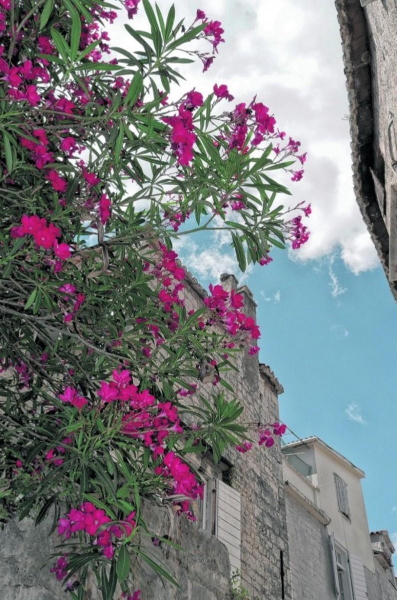 oleander-and-daphnis-nerii