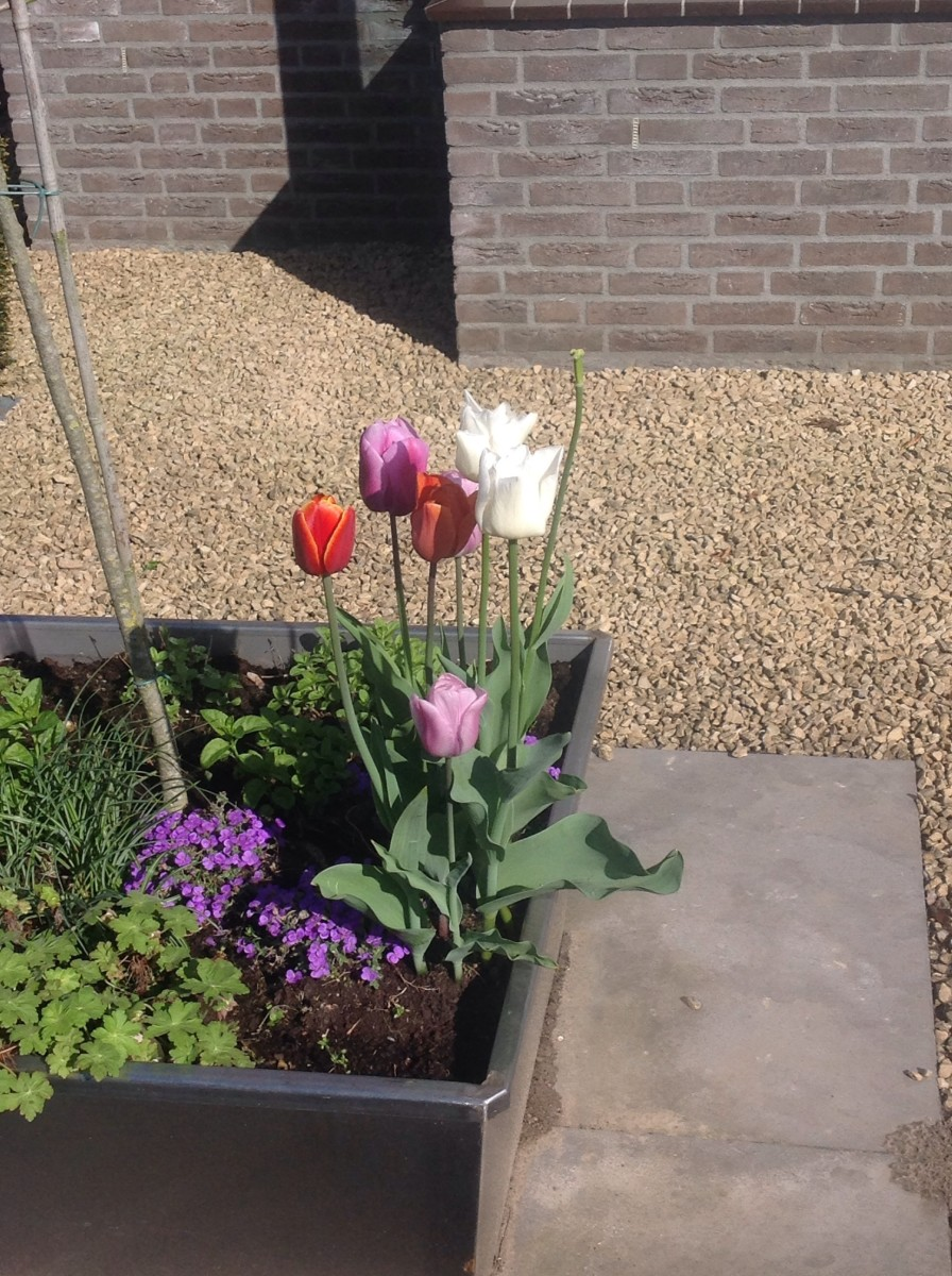 Tulips: Small Dutch Country Village