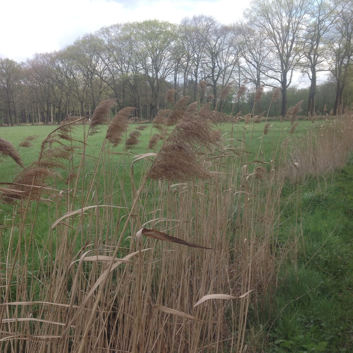 Reed Stalks