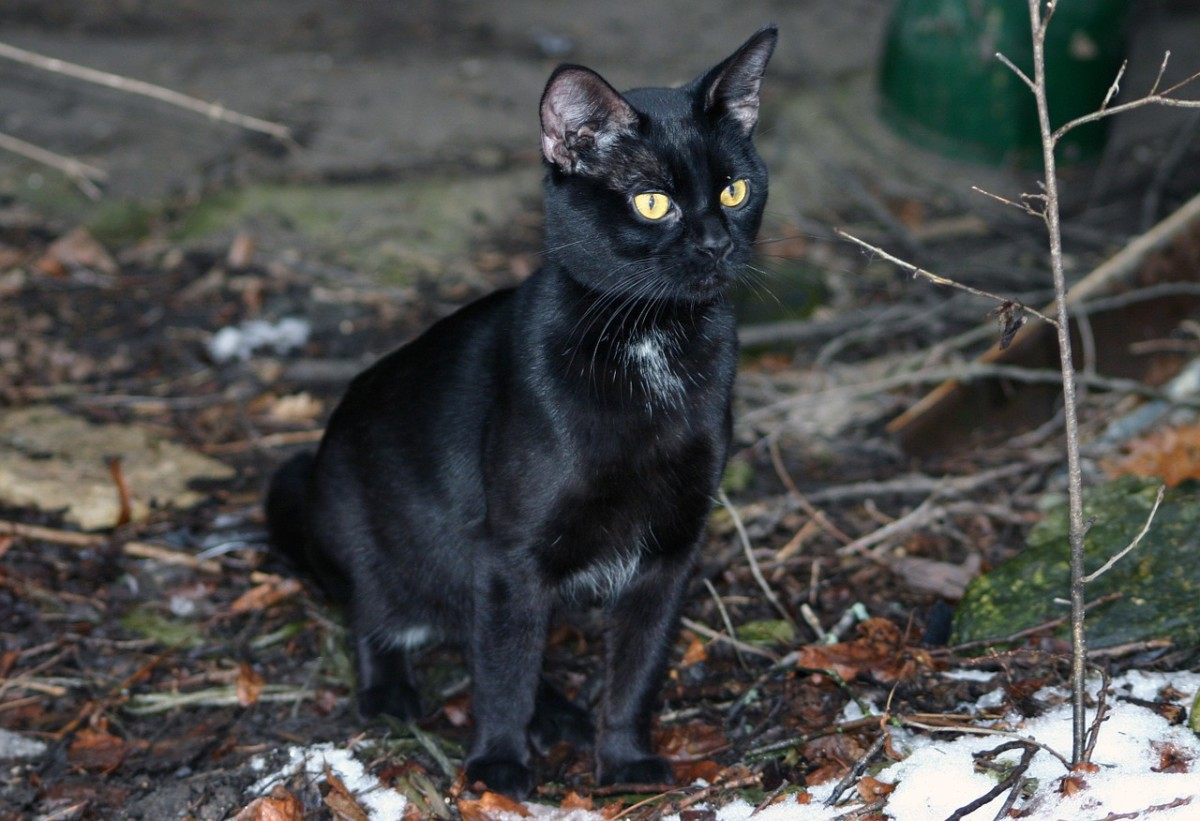 No need to fear a black cat