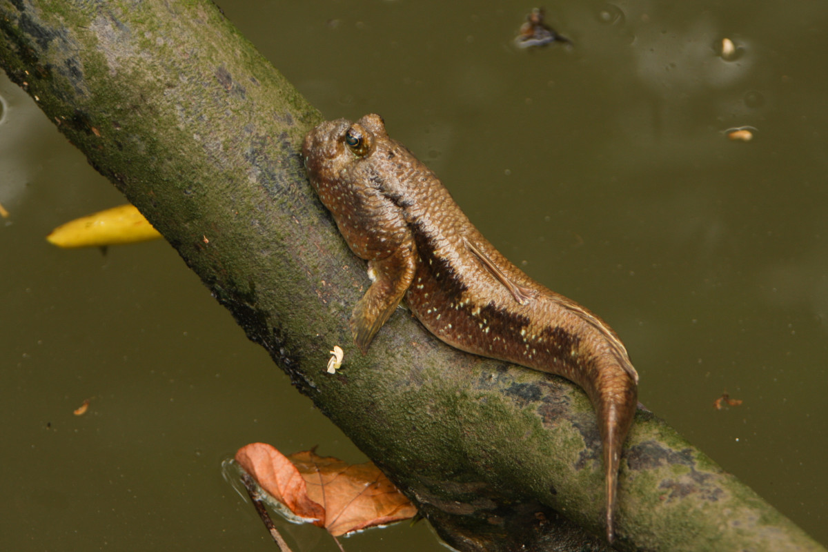 Mudskipper on a tree