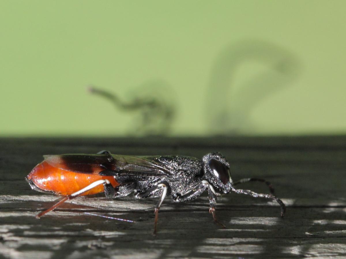 Parasitic Wood Wasp