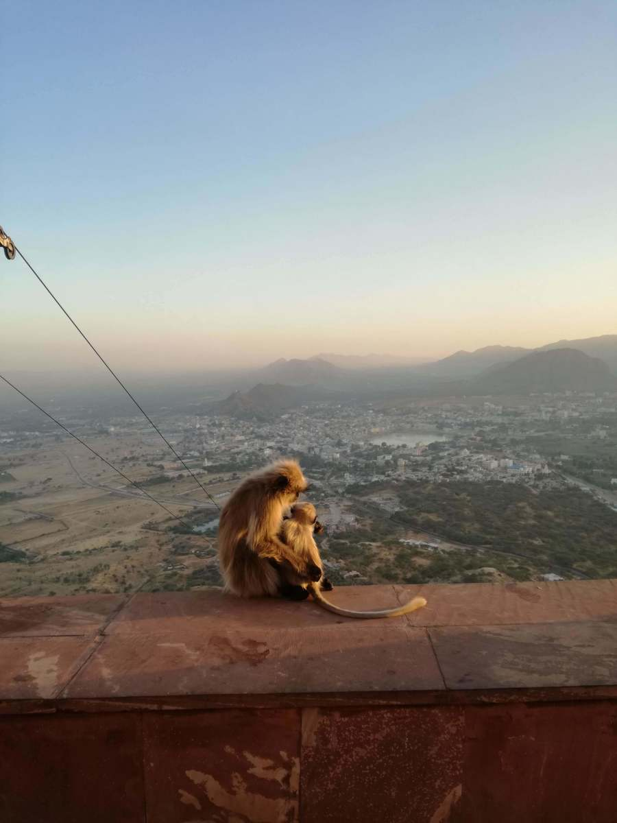 Some snuggling monkeys at the top of a hike I did in Pushkar.