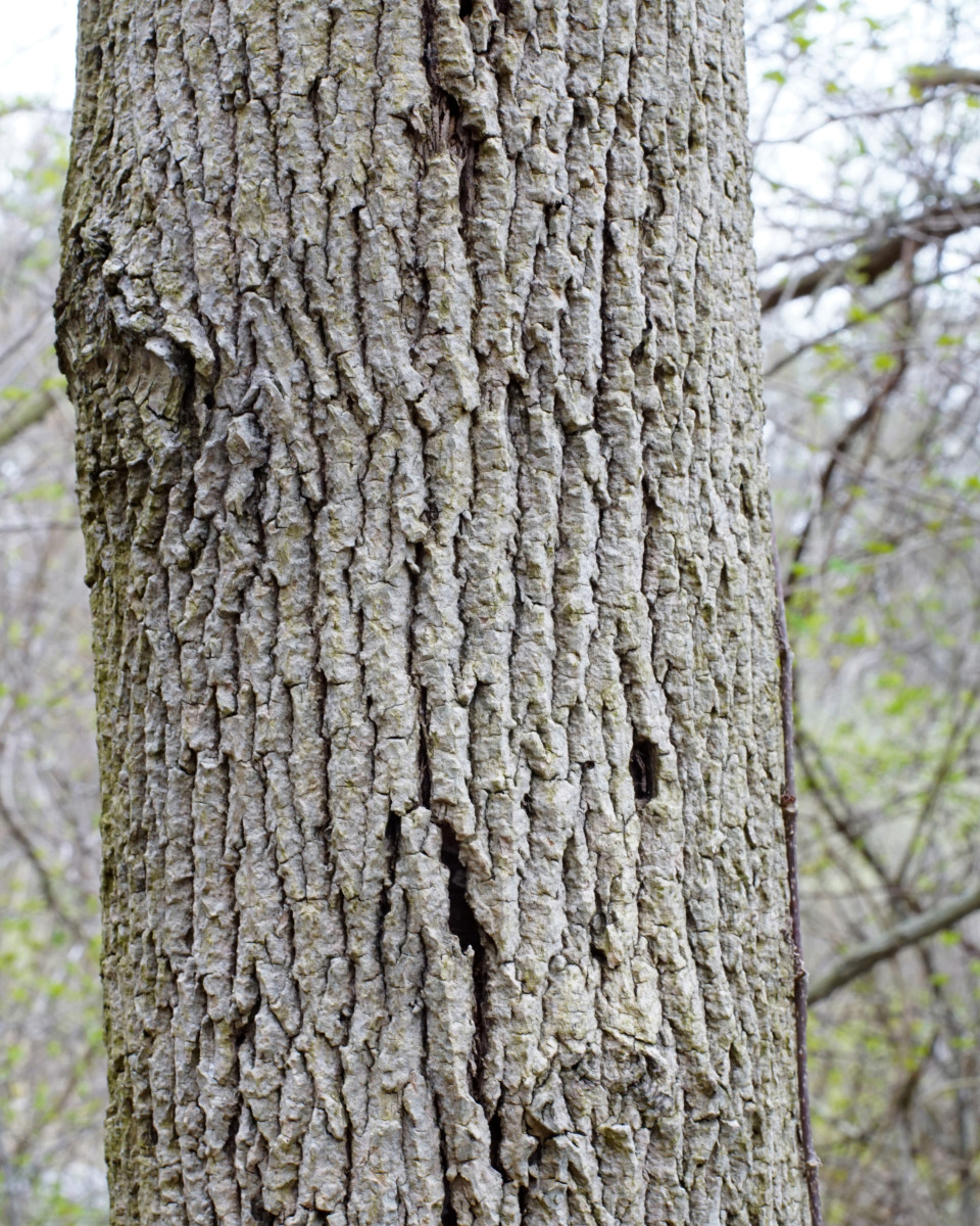 White Ash Tree Bark