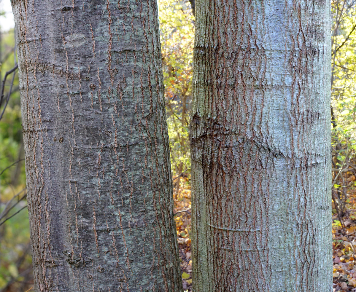 Young Northern Red Oak Tree Bark