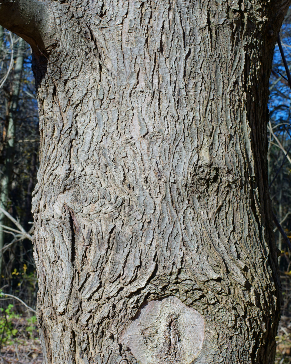 Mature Silver Maple Tree Bark