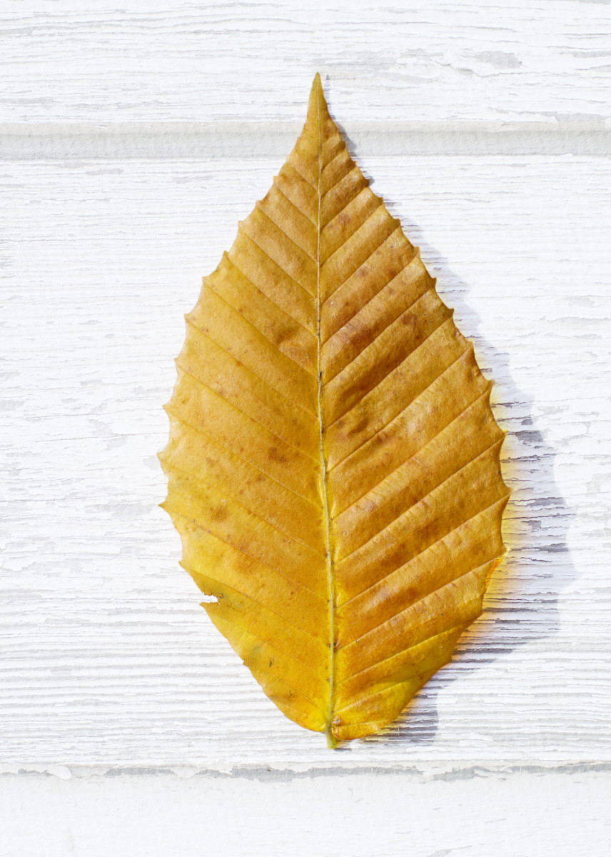 American Beech Tree Leaf Autumn Color